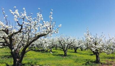 延边州龙井市是中国苹果梨之乡,万亩果园是亚洲最大的苹果梨园,位于